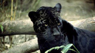 Pantera nera-Leopardo melanico