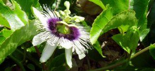 Piante e Fiori in Kenya-Passiflora caerulea