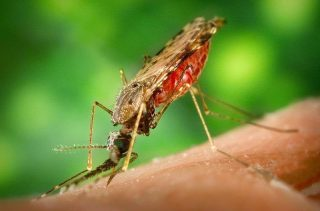 Zanzara del genere anopheles-Malaria