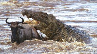 Coccodrillo del Nilo-Fauna del Kenya