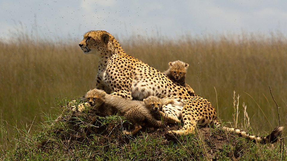 Ghepardo con i suoi cuccioli-Riserva Masai Mara Kenya