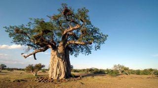 Flora del Kenya-Adansonia nota come Baobab