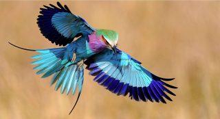 Ghiandaia marina pettolilla-Lilac breasted Roller