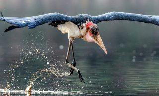 Cicogna Marabù-Marabou Stork