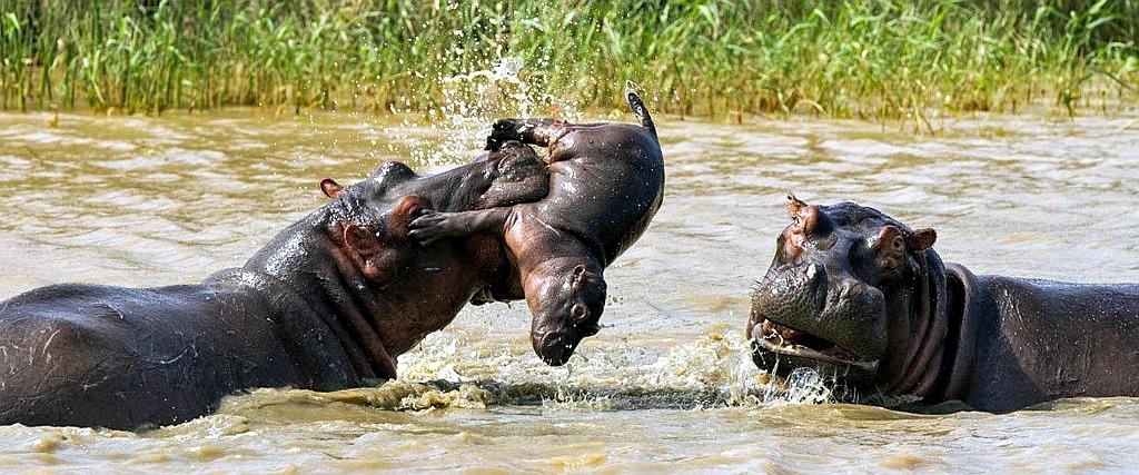 Kenya Safari-Ippopotami